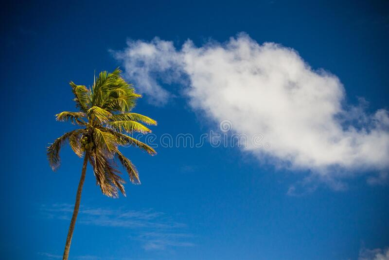 Palm Tree Against Blue Skies Free Public Domain Cc0 Image