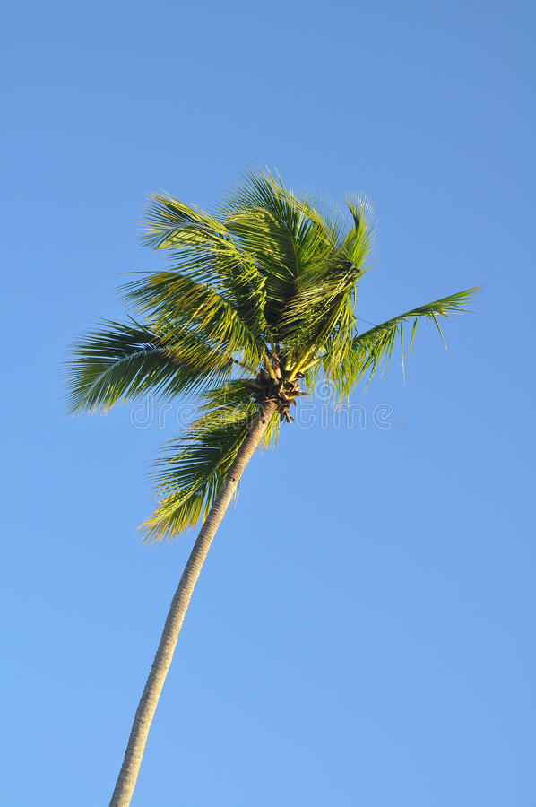 Download Palm Tree Against Blue Tropical Sky In The Breeze Stock Photo - Image of blue, palm: 41361084