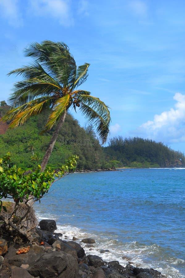 Palm tree along the coast of Kauai Hawaii royalty free stock image