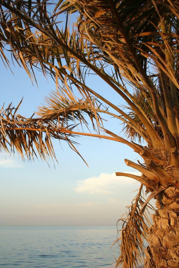 Palm tree by arabian sea royalty free stock photography