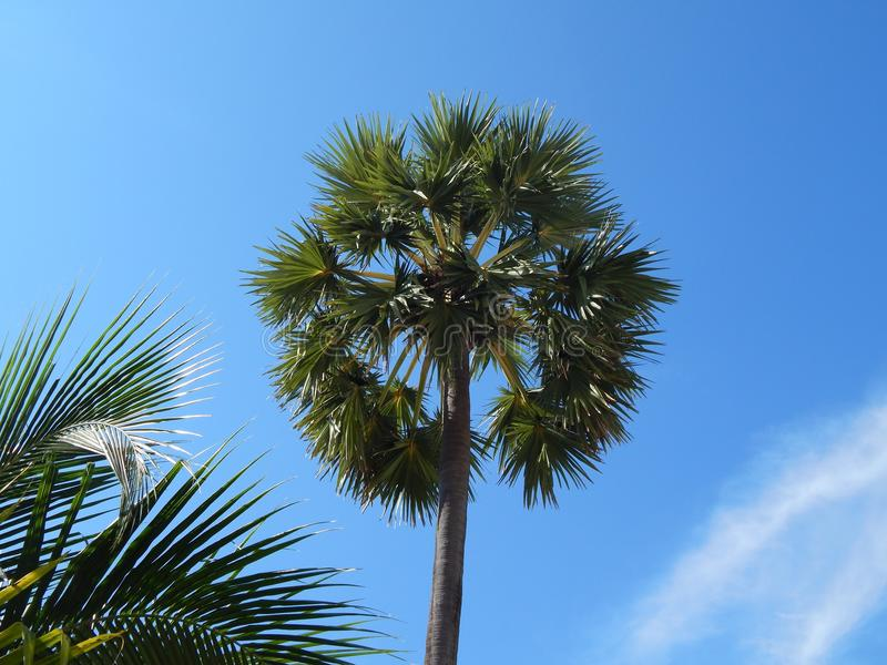Palm tree in the background of a clear sky royalty free stock photography