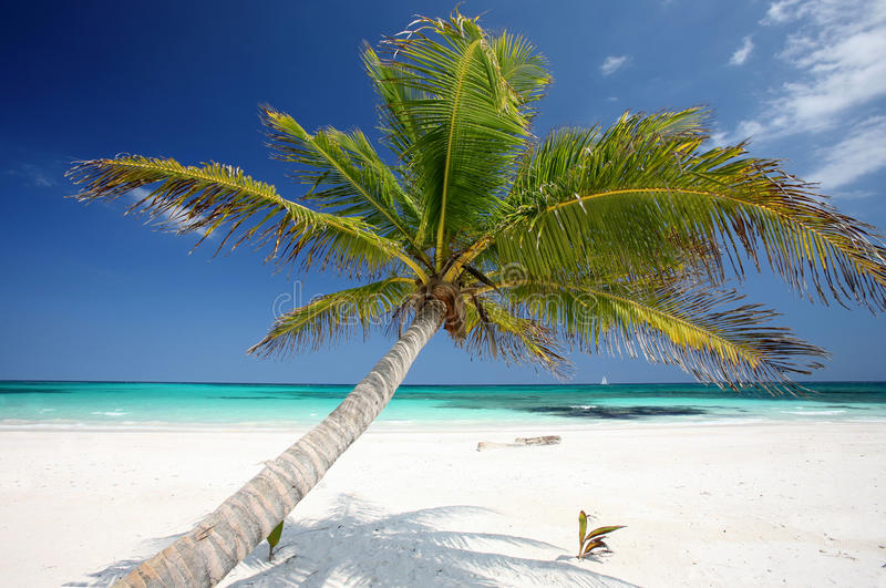 Download Palm Tree at the beach stock image. Image of palme, erholung - 27940797