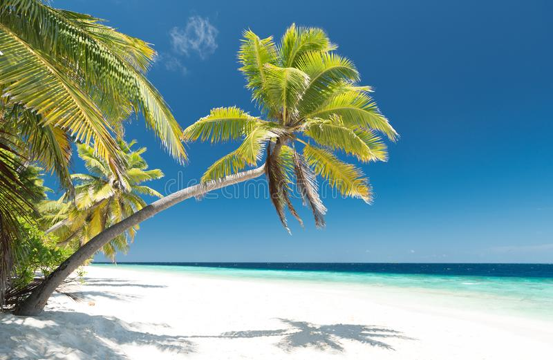 Palm tree on the beach royalty free stock photo