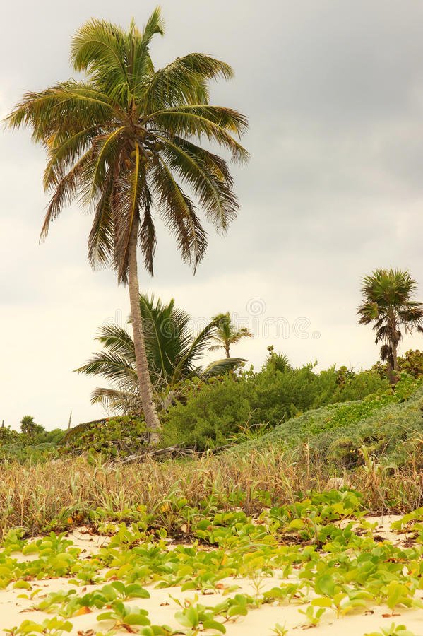 Download Palm tree on a beach stock image. Image of coconut, nature - 35552995