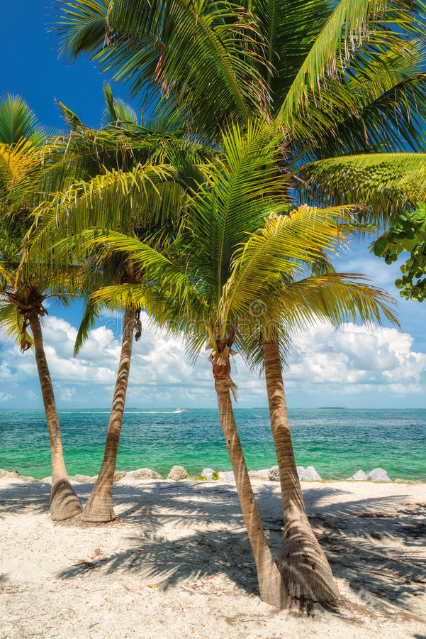 Palm Tree On The Beach. Florida Stock Image