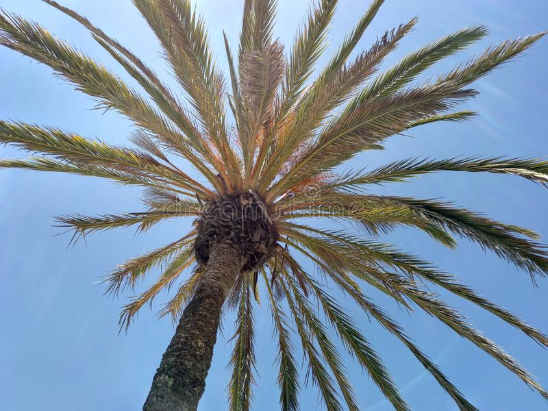 Palm sky blue. Palm tree at the beach in the south of spain. Sunny day with blue clear sky royalty free stock photos
