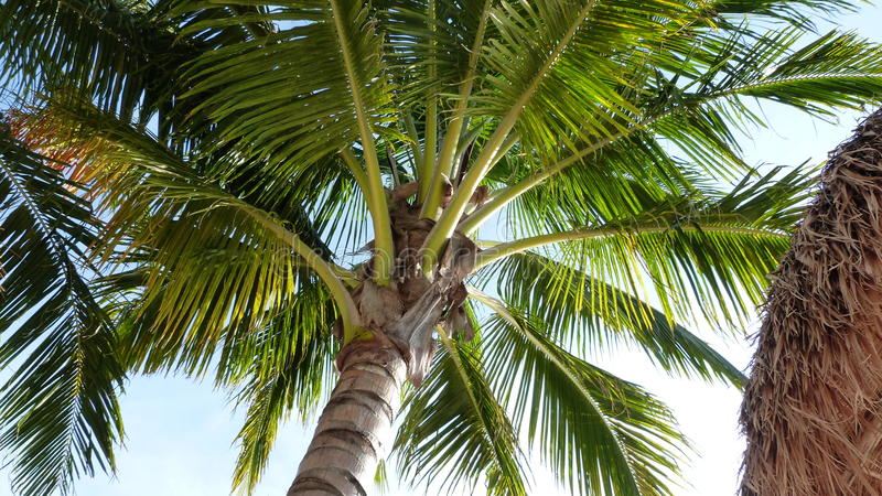 Palm Tree from Below. A palm tree photographed from below in Cozumel Mexico stock photo