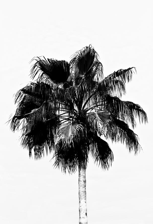 A palm tree in black and white, that appears to be a drawing stock images