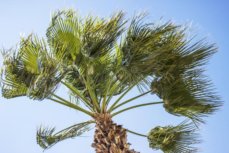 A palm tree blowing in the wind with a blue sky background stock photography