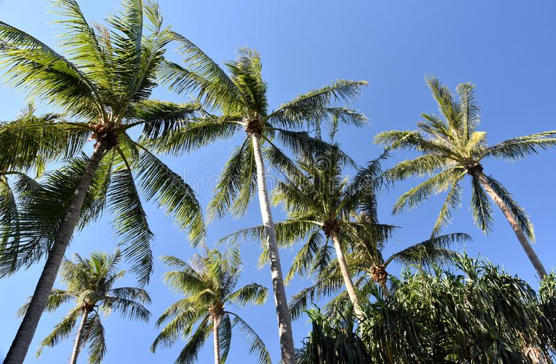 Palm tree with blue sky background. On a sunny but windy day stock images