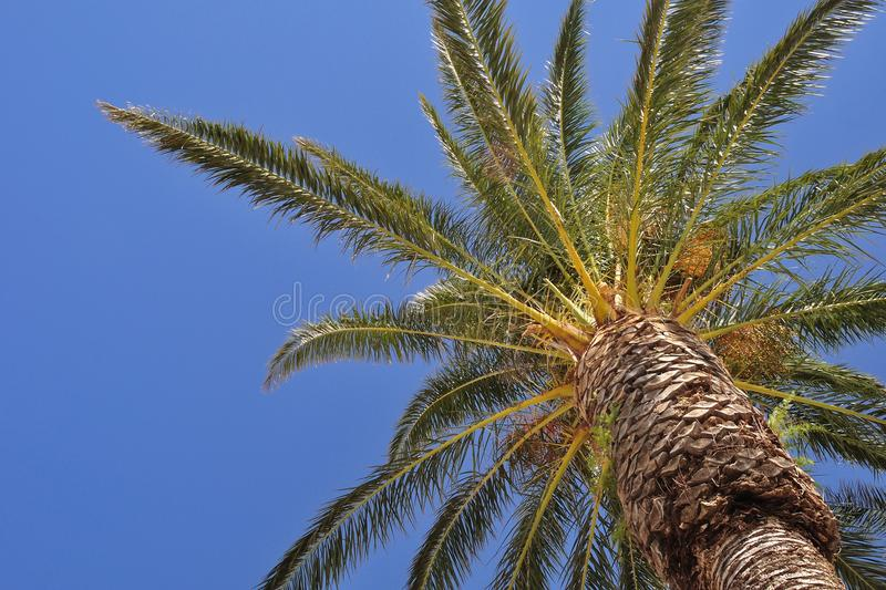 Palm tree with blue sky royalty free stock images