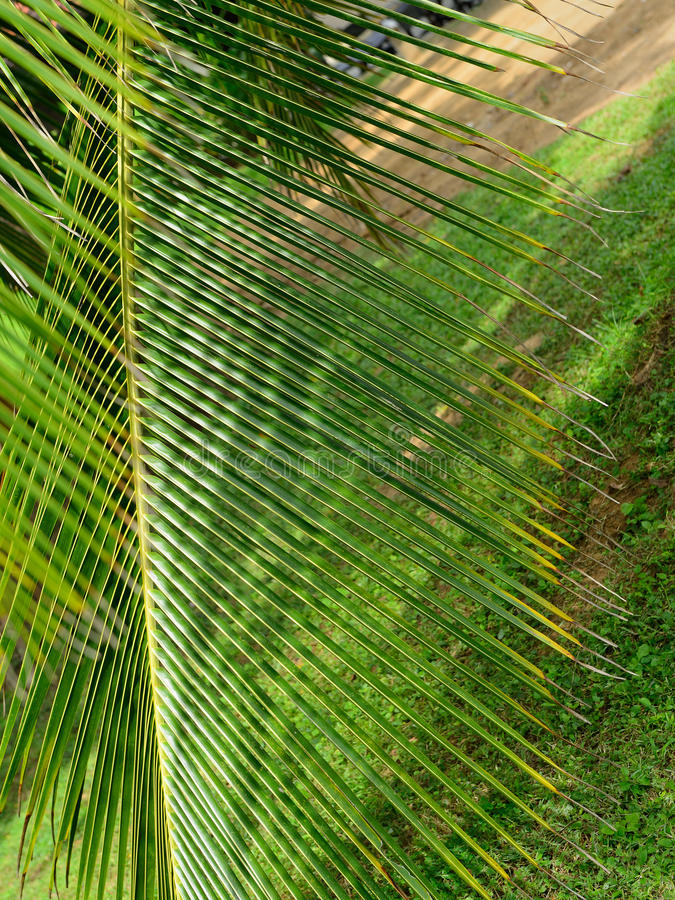 Palm tree branch royalty free stock images