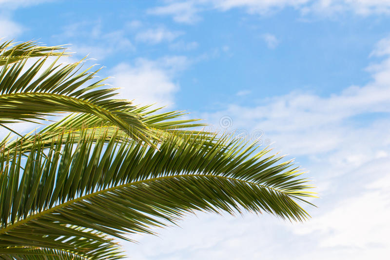 Palm tree branch on a blue sky background. Palm sunday, christian, summer, tropic, exotic, jungle, season concept royalty free stock image