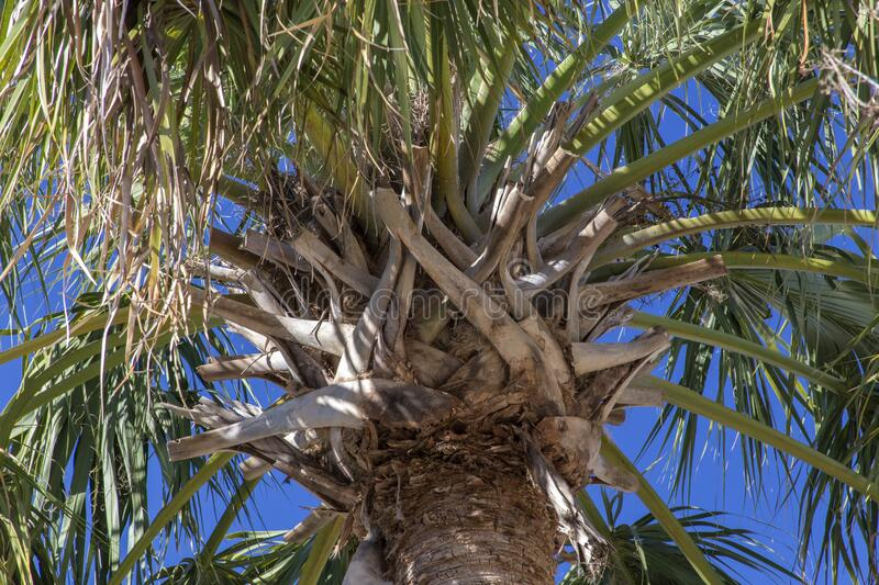Palm tree branches from below stock image