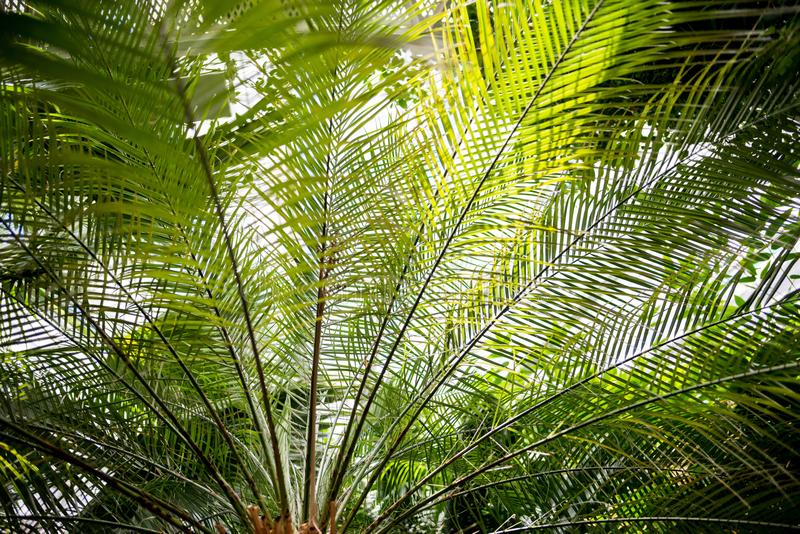 palm tree branches with green leaves stock images