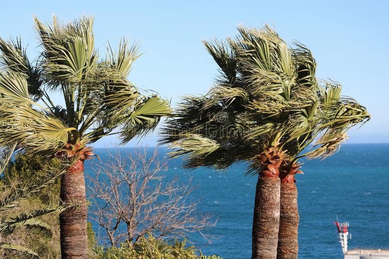 Palm Tree With Branches Moving In The Wind. Against A Blue Sky And The Mediterranean Sea royalty free stock photography