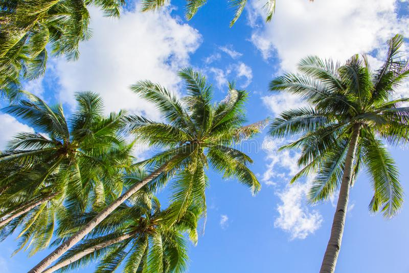 Palm tree and bright blue sky with white clouds. Tropical nature idyllic photo for banner background. Coco palms top view. Skyscape with coconut palm trees stock photos