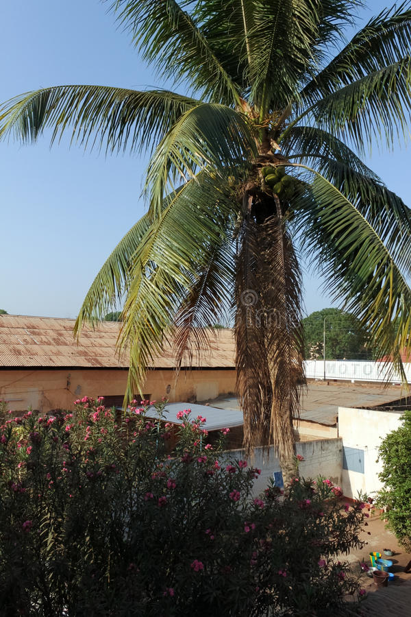 Palm tree, Burkina Faso. A palm tree in Bobo-Dioulasso, Burkina Faso royalty free stock photos