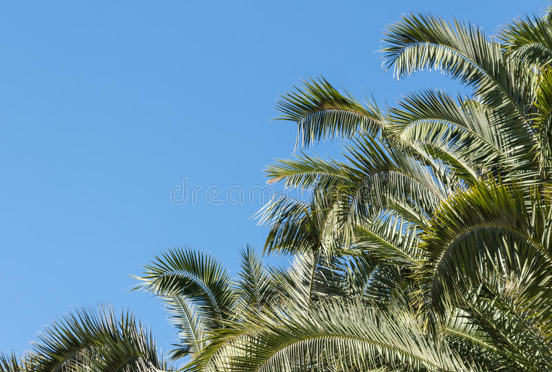 Palm tree canopy against blue sky. Date palm tree canopy against blue sky stock photography