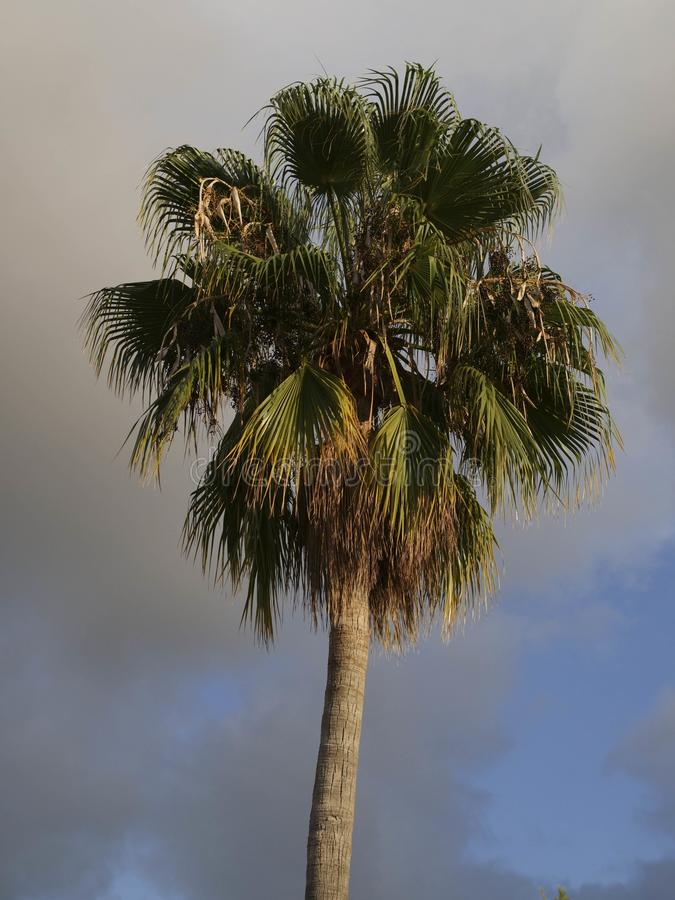 Palm tree and clouds. Beautiful palm tree lit by sun with cloudy skies in the background stock image