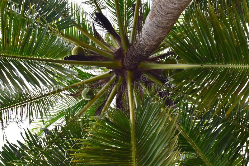 Palm, tree, coconut, tropical, green, sky, leaves, beach, nature, leaf, plant, blue, palm tree, exotic, royalty free stock photo