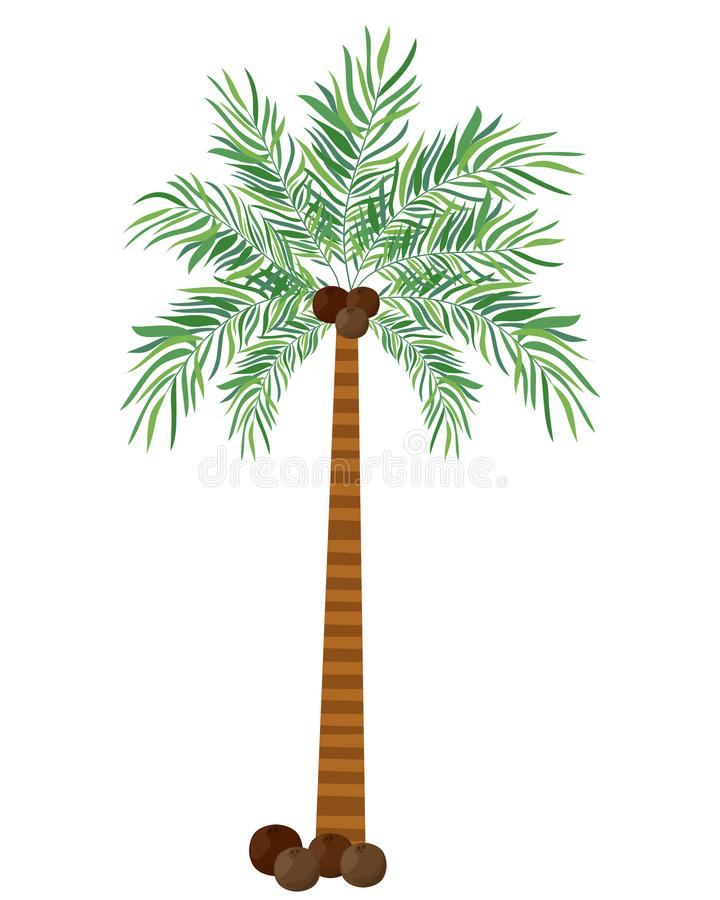 Palm tree with coconut in white background. Vector illustration design vector illustration