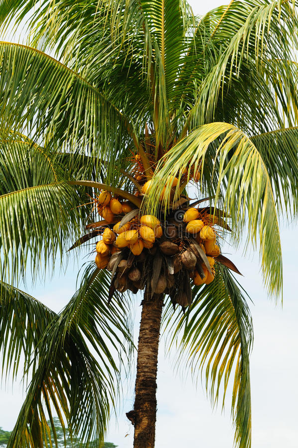 Download Palm tree coconuts stock photo. Image of palm, tropical - 11695768