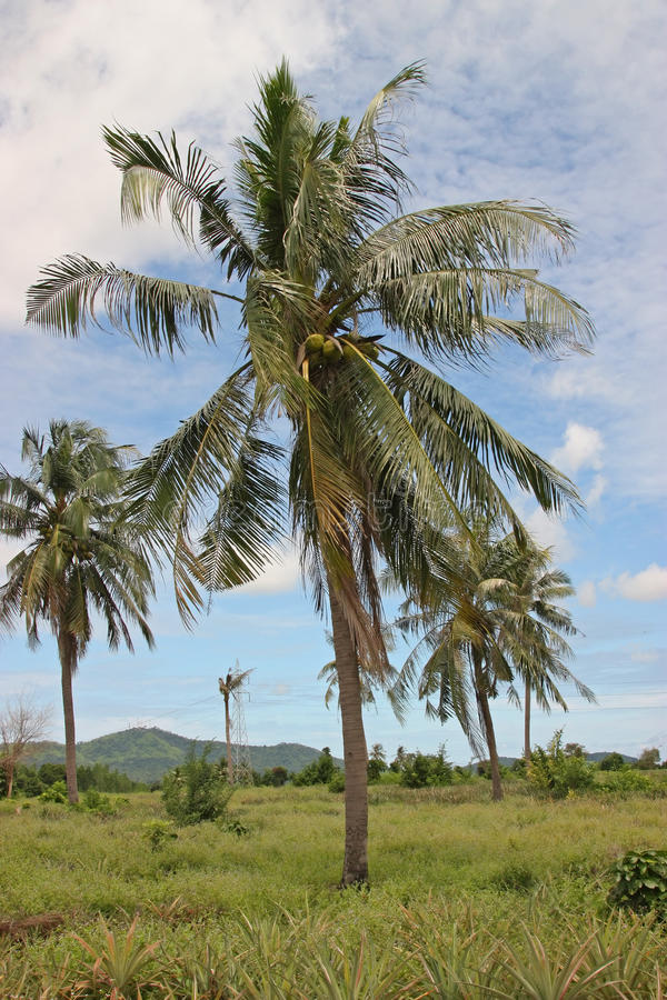 Download Palm Tree With Coconuts Stock Photo - Image: 12871190
