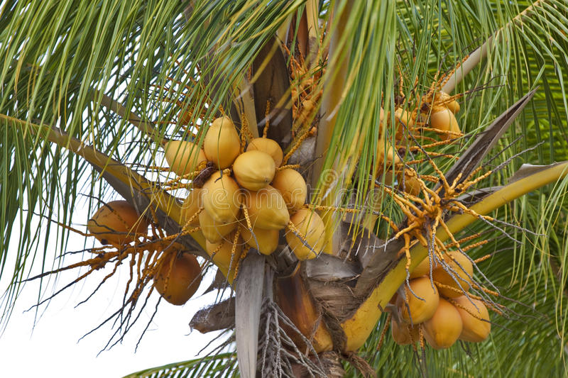 Download Palm tree & coconuts stock photo. Image of botany, coconut - 21876906