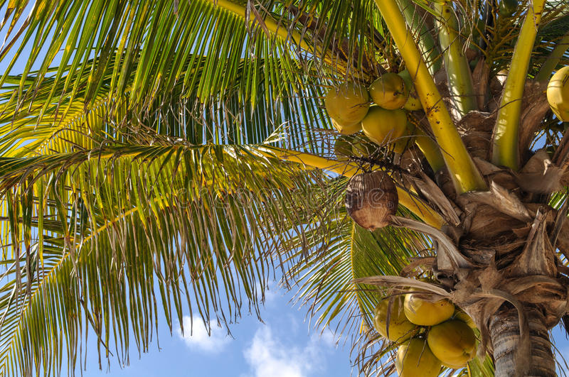 Download Palm Tree with Coconuts stock photo. Image of exotic - 34693440