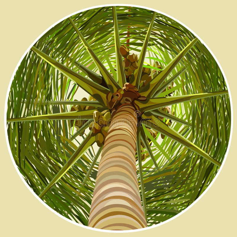 Palm tree with coconuts bottom view vector illustration