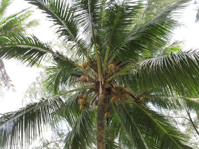 Palm tree with coconuts, view from bottom to top royalty free stock images