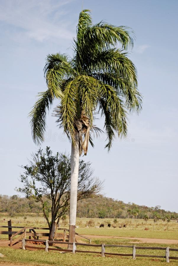 Palm tree in country field royalty free stock photos