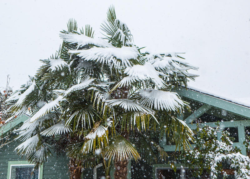 Download Palm tree covered in snow. stock photo. Image of palm - 83719862