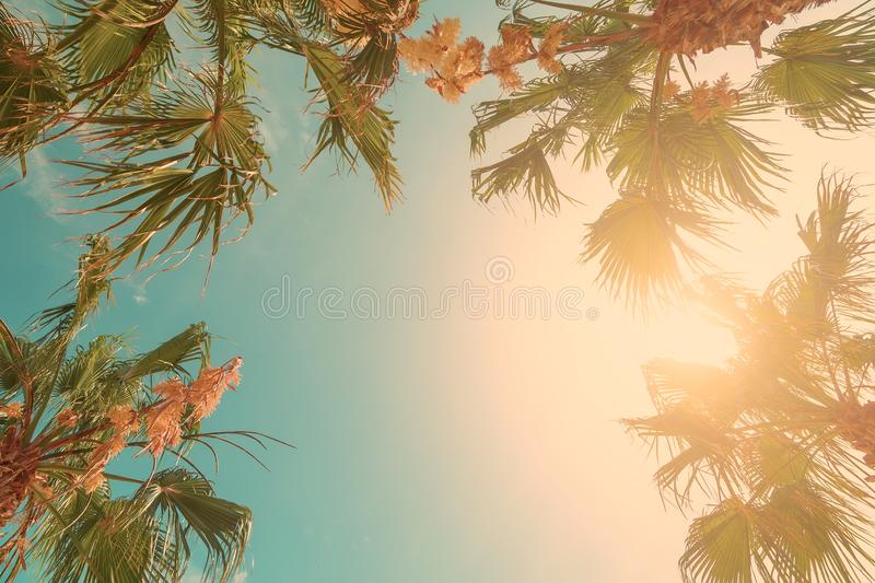 Palm tree crowns with green leaves on sunny sky background. Coco palm tree tops - view from the ground. Palm leaf on sunny sky. royalty free stock photography