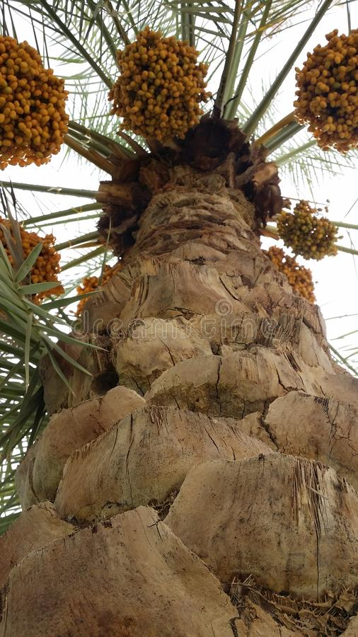 Palm tree with dates royalty free stock images