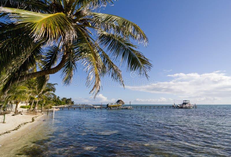 Palm tree in Caye Caulker, Belize stock image