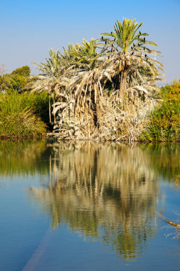 Palm Tree, En Afek. A palm tree with cormorant birds over a water pond, in En Afek Nature Reserve, northern Israel stock image