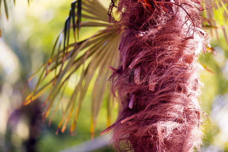 Palm tree fibers. Chit or Palm Thatch Tree Fibers - Thrinax radiata stock image