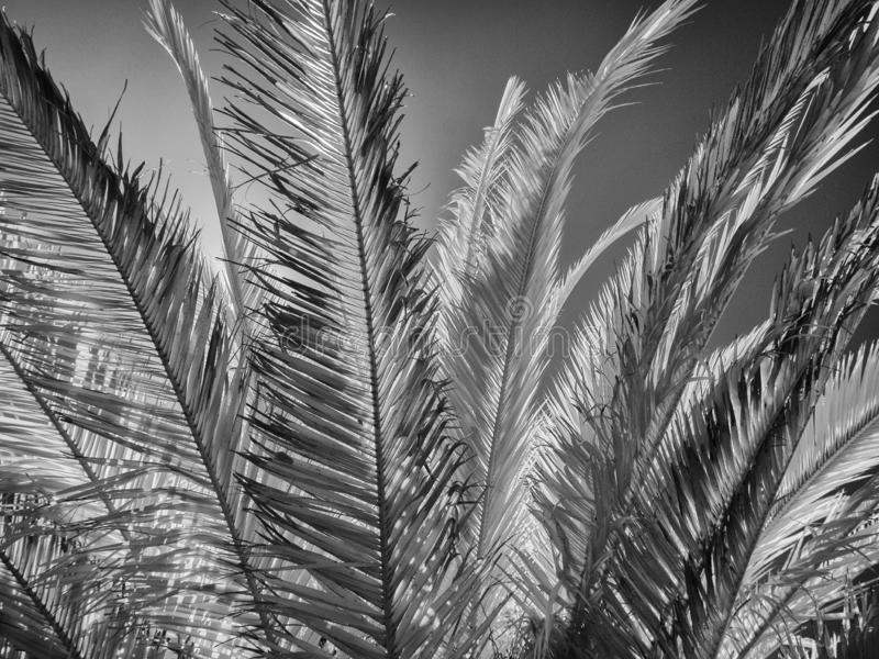 Palm Tree leaves, black and white royalty free stock images
