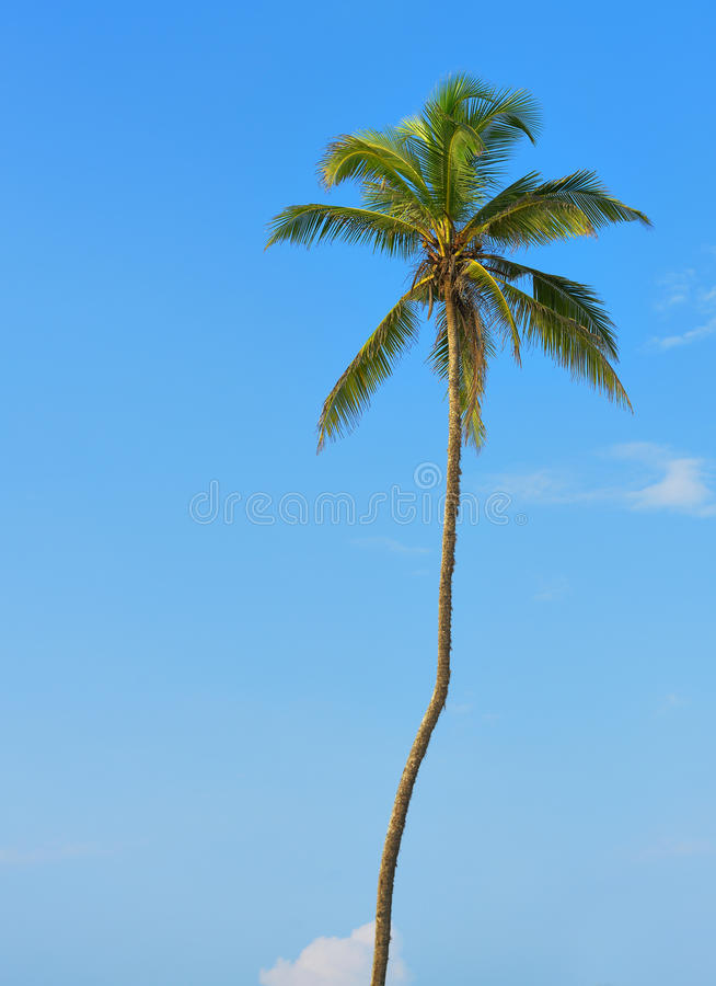 Palm tree with the fruit of coconut stock photos