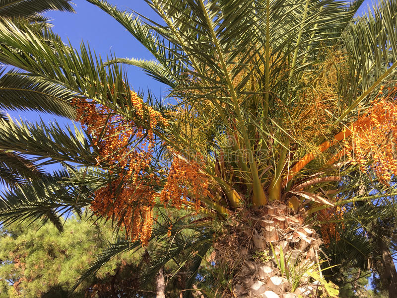 Palm tree fruit. In Nea Fokea Greece stock photography
