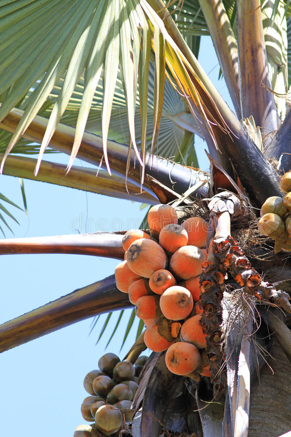Palm tree fruits royalty free stock photography
