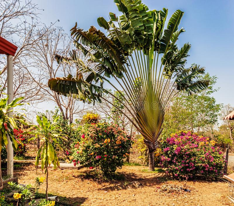 Palm tree in the garden in Panama. Private garden around the house with majestic palm in Panama, countryside at Azuero peninsula stock photo