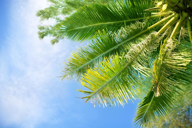 Palm tree green branches on bright blue sky, white clouds background, sunny day on tropical beach, design element tourist poster royalty free stock photo