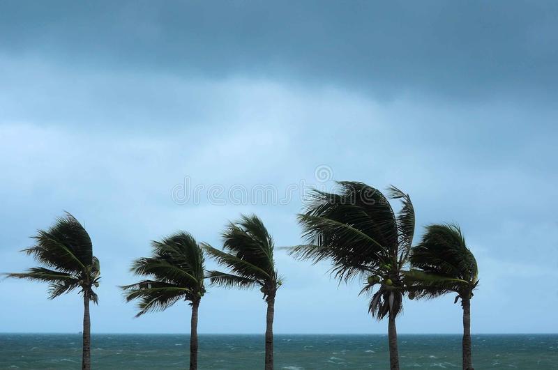 Palm tree at the hurricane. Palm tree on the beach with strong windy stock image