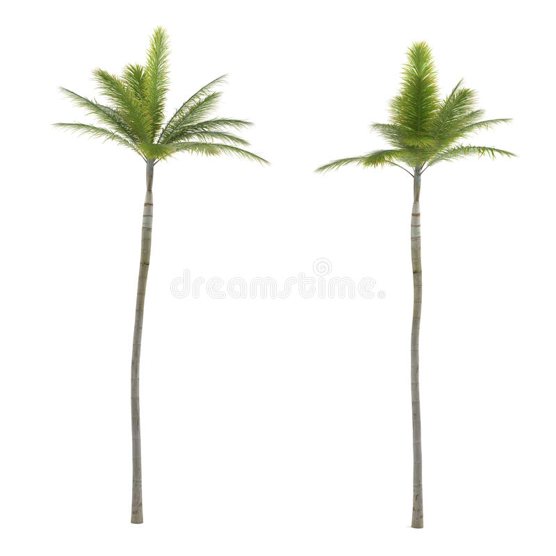Palm tree isolated. Archontophoenix. See my other works in portfolio royalty free stock images