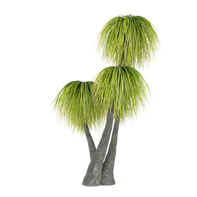Palm tree isolated. Beaucarnea Recurvata stock photography