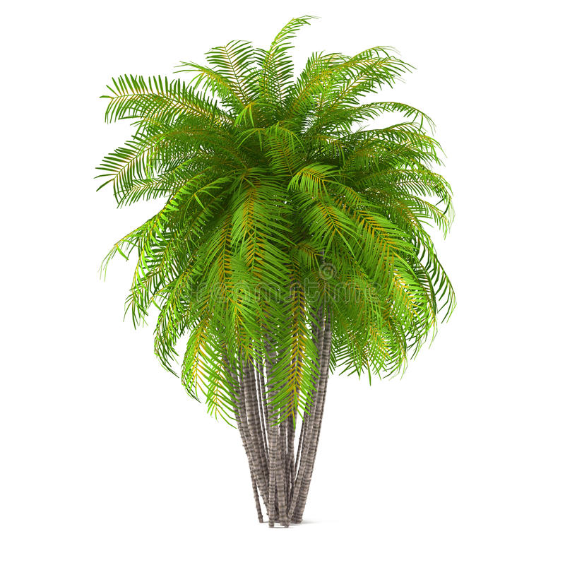 Palm Tree Isolated Washingtonia Filifera Stock
