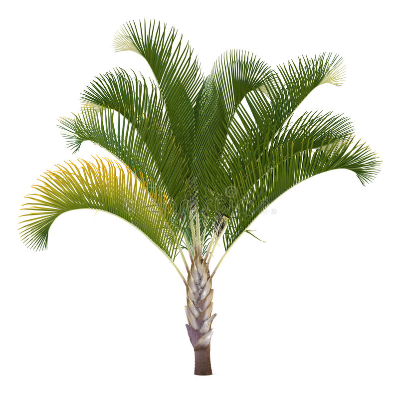Palm tree isolated. Dypsis decaryi vector illustration
